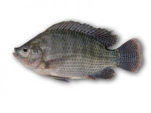 aquaponics-tilapia-fish